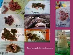 Griboulle Et Noisette, rongeur Rat