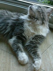 Griby, chat Maine Coon