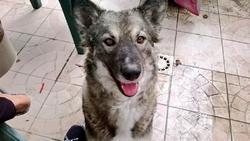 Grichkas, chien