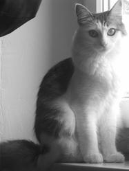 Grifette, chat Européen