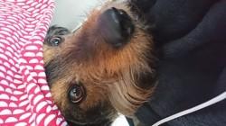 Griffin, chien