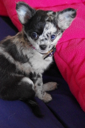 Griffith, chien Chihuahua