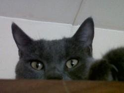Griffon, chat Européen