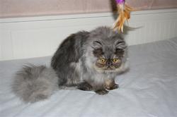 Griffon D'Argent Du Cercle Des Fées, chat Persan