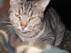 Griffou, chat Européen