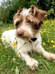 Griffou, chien