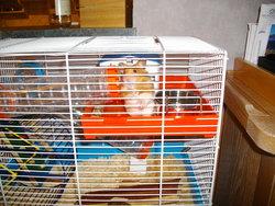 Grignette, rongeur Hamster