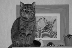 Grignette, chat Européen