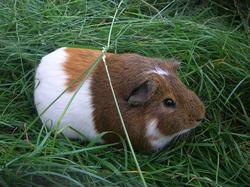 Grignotte, rongeur Cochon d'Inde
