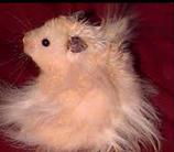 Grignotte, rongeur Hamster