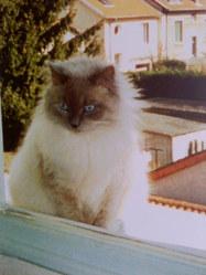 Grigri, chat Ragdoll