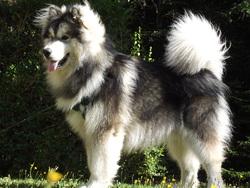 Grim, chien Malamute de l'Alaska
