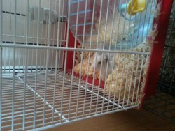 Grimpeur, rongeur Hamster