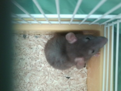 Grimpeuse, rongeur Rat