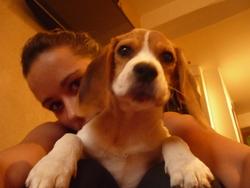 Grindere, chien Beagle