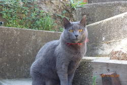 Grine, chat Chartreux