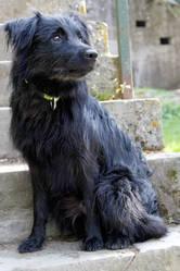 Gringo, chien Berger des Pyrénées