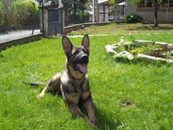 Gringo, chien Berger allemand