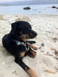 Gringo, chien Beauceron