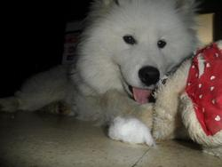 Gringo, chien Samoyède