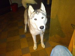 Gringo, chien Husky sibérien