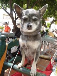 Gringo, chien Chihuahua