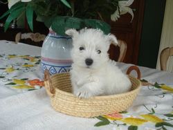 Griotte, chien West Highland White Terrier