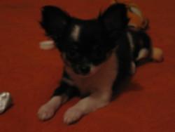 Griotte, chien Chihuahua