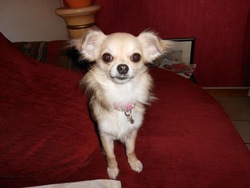 Griotte, chien Chihuahua
