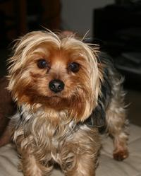 Griotte, chien Yorkshire Terrier