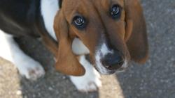 Griotte, chien Basset Hound