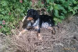 Griotte, chien Épagneul breton