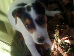 Griotte, chien Jack Russell Terrier