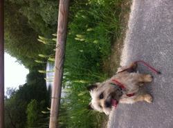 Griotte, chien Cairn Terrier