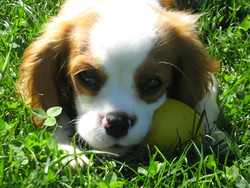 Griotte, chien Cavalier King Charles Spaniel
