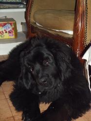 Griotte, chien Terre-Neuve