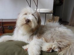 Griotte Du Moulin De L'Auray, chien Bearded Collie