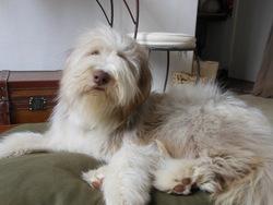 Griotte Du Moulin De L'Auray, chien Bearded Collie