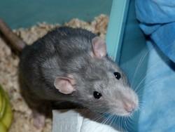Gripsou, rongeur Rat