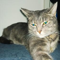 Gris-Bouille, chat Européen
