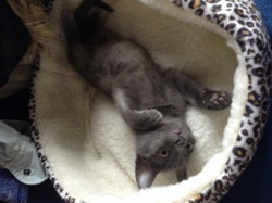 Grisaille, chat Chartreux