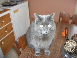 Grisbouille, chat Gouttière