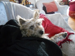 Grisby, chien Cairn Terrier