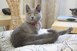 Griselda De La Gorbyniére, chat Chartreux