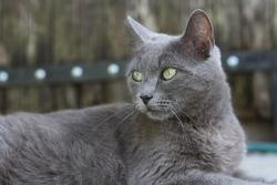 Grisette, chat Européen