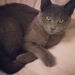 Grisette , chat Bleu russe