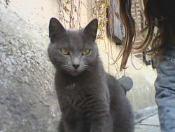 Grisette, chat Korat