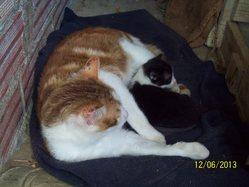 Grisette, chat Gouttière