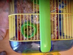 Grisette, rongeur Hamster