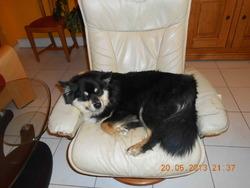 Grisha, chien Chien finnois de Laponie